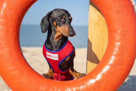 A dog Dachshund breed, black and tan, in a red blue suit of a lifeguard  sits on orange lifebuoy,  a sandy beach against the sea