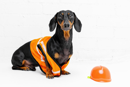 Dachshund dog, black and tan, sits on the background of a dirty white  brick wall, in an orange construction vest and helmet.  copy space for text