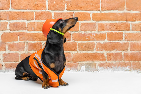 Dachshund dog, black and tan, sits on the background of a dirty brick wall, in an orange construction vest and helmet, during a building renovation, looking up. copy space for text