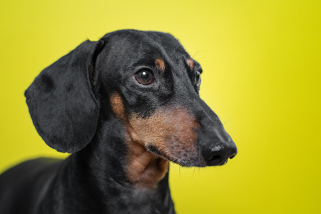 Portrait of a dog breed of dachshund, black and tan,  on a yellow background. Background for your text and design. concept of canine emotions. Standard-Bild - 120603569