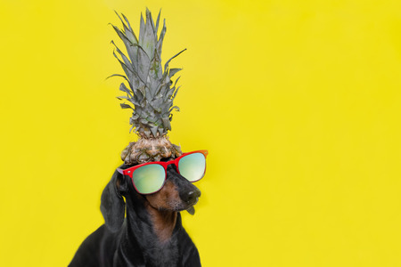 Portrait of cute dachshund dog, black and tan, with sun glasses holding pineapple on head on  bright yellow background. Beach style. long format banner. Background for your text and design. Standard-Bild - 121465305