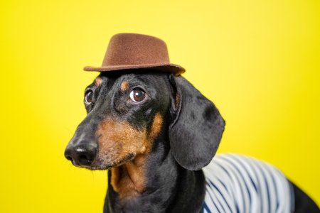 beautiful breed dachshund dog, black and tan,   holding brown hat on head on  bright yellow background, curious expression of muzzle Standard-Bild - 121465309