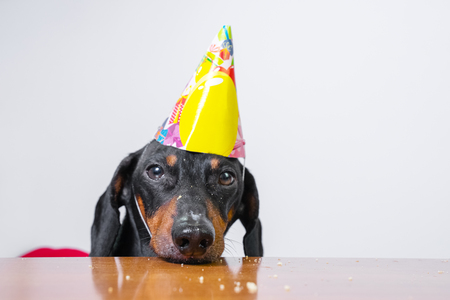 cute dog breed dachshund, black and tan,  eat birthday cake,wearing  party hat, lying sad on the table on white background