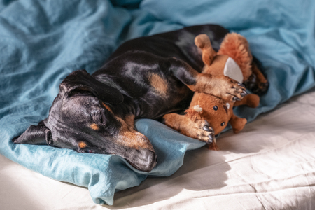 cute dog breed dachshund, black and tan, sleeping sweetly in sleep with his toy on the bed