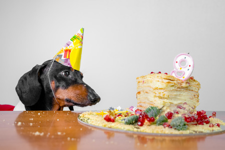 cute dog breed dachshund, black and tan,  hungry for a happy birthday cake with candles  number 9,wearing  party hat  , on white background