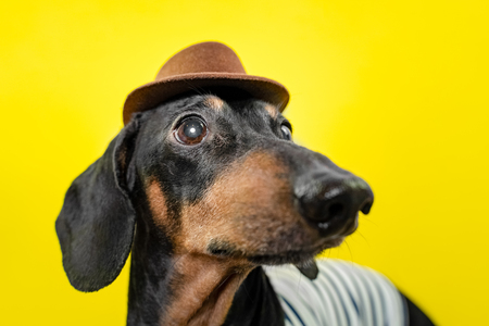 summer portrait of a funny  breed dog, black and tan, wearing a t-shirt and a  hat, on a colorful yellow background.