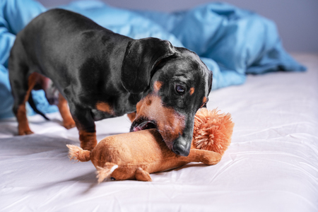 cute dog of breed dachshund, black and tan, playing with a toy, crunching it, on the bed in the home