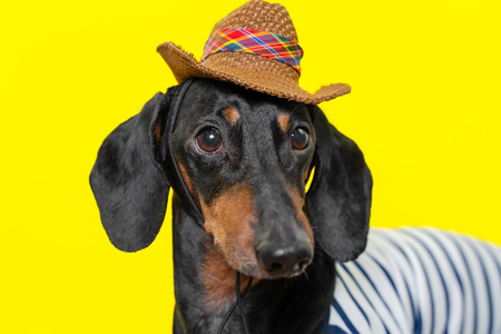 summer portrait of a adorable breed dog, black and tan, wearing a t-shirt and a cowboy hat, on a colorful yellow background