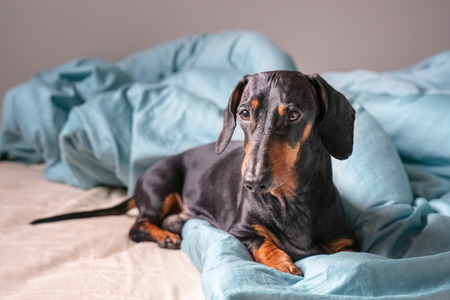 Portrait of a young dachshund dog, black and tan, in a bed at home Stock Photo