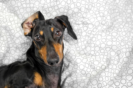 Portrait of a young dachshund dog, black and tan, play the ape in a bed at home Stock Photo