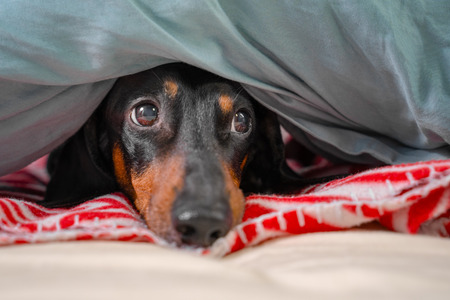 Portrait of good dog dachshund, black and tan, basking resting under a cozy blanket Stock Photo