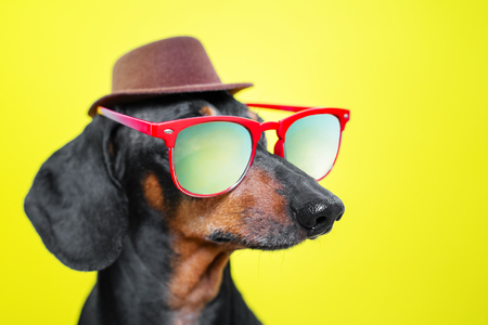funny   breed dog dachshund, black and tan, with sun glasses and hat, yellow studio background, concept of dog emotions and and holidays Stock Photo