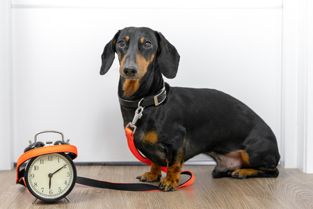 Black and tan dog breed dachshund sit at the door with a leash and alarm clock, cute small muzzle look at his owner and wait for a walk. Live with schedule, time to walk outdoor. Фото со стока