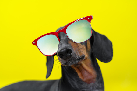 funny   breed dog dachshund, black and tan, with sun glasses, yellow studio background, concept of dog emotions. Background for your text and design.
