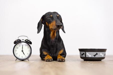 Le teckel de race de chien noir et feu est assis au sol avec un bol et un réveil, cligna des yeux et attendit de la nourriture. Vivre avec l'horaire, l'heure de manger. Banque d'images
