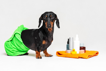 cute dog dachshund, black and tan, wrapped in a green towel, after showering with a rubber yellow duck, cans of shampoo, bathroom accessories, isolated on a gray background
