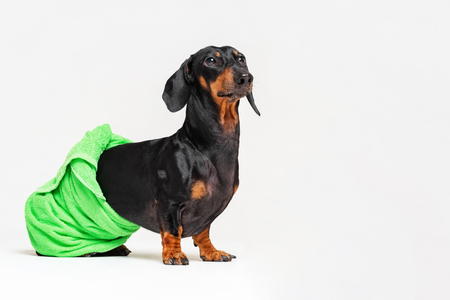 dog  breed of dachshund, black and tan, after a bath with a green towel wrapped around her  body isolated on gray background