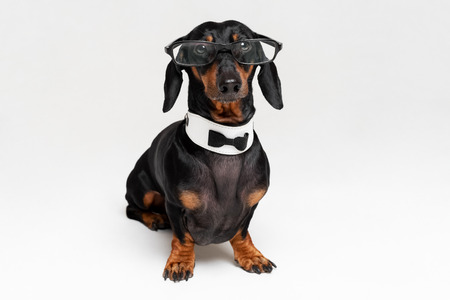 Smart intelligent dog dachshund with glasses ,bow tie and white collar, isolated on gray background.