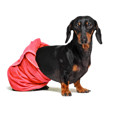 dog  breed of dachshund, black and tan, after a bath with a red towel wrapped around her  body isolated on white background