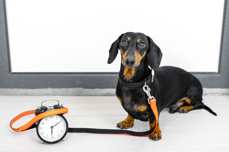 Black and tan dog breed dachshund sit at the door with a leash and alarm clock, cute small muzzle look at his owner and wait for a walk. Live with schedule, time to walk outdoor. Stock Photo