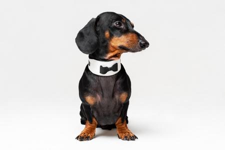 Portrait de chien mignon, teckel, noir et feu, portant un noeud papillon, isolé sur fond gris.