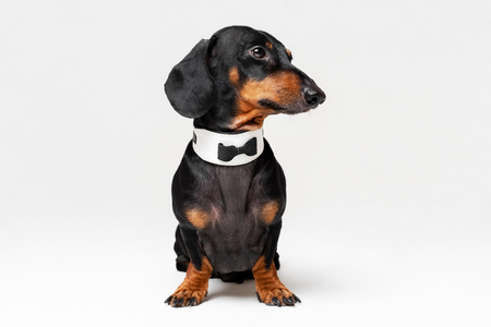 Portrait of cute dog, dachshund, black and tan, wearing  bow tie, isolated on gray background.