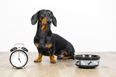 Black and tan dog breed dachshund sit at the floor with a bowl and alarm clock, cute small muzzle look at his owner and wait for food.  Live with schedule, time to eat.