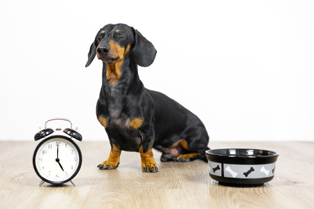 Black and tan dog breed dachshund sit at the floor with a bowl and alarm clock, blinked and wait for food.  Live with schedule, time to eat.