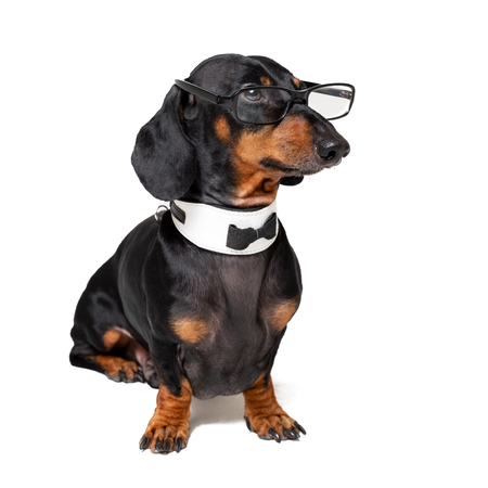 intelligent dog dachshund with glasses ,bow tie and white collar, isolated on white background. Stock Photo