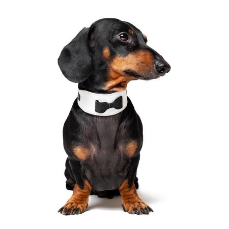 Portrait de chien mignon, teckel, noir et feu, portant un noeud papillon, isolé sur fond blanc.