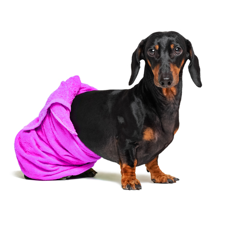 dog breed of dachshund, black and tan, after a bath with a purple towel wrapped around her body isolated on white background