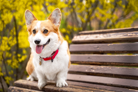 Happy purebred Welsh Corgi dog  sitting on a wooden bench in a blooming beautiful colorful trees in spring in the park