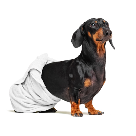 dog  breed of dachshund, black and tan, after a bath with a white towel wrapped around her  body isolated on white background