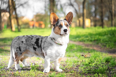 Pembroke welsh corgi cardigan dog in the park on a background of green trees on a sunny day Фото со стока