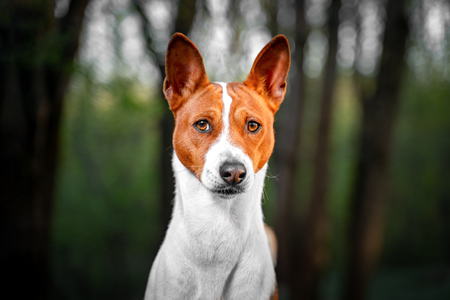 Portrait of a red basenji standing in a summer forest. Basenji Kongo Terrier Dog. Фото со стока