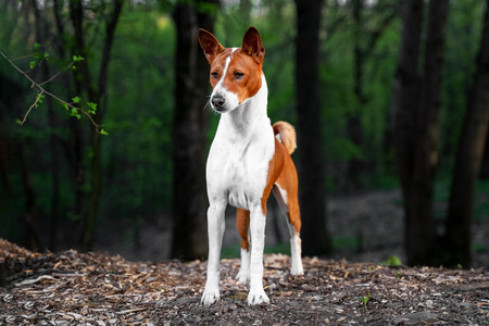 Portrait of a red basenji standing in a summer green forest. Basenji Kongo Terrier Dog.