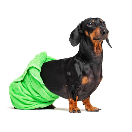 dog  breed of dachshund, black and tan, after a bath with a green towel wrapped around her  body isolated on white background