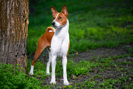 Portrait of a red basenji standing between the trees in a summer forest on the Sunset. Basenji Kongo Terrier Dog.
