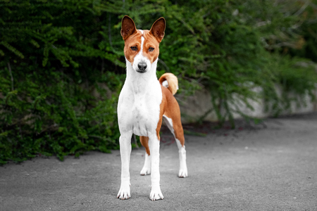 Portrait of a red basenji standing in a park not against a background of green trees in summer. Basenji Kongo Terrier Dog.