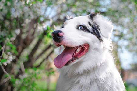 Happy purebred Australian Shepherd dog  sitting on a blooming beautiful colorful trees in spring in the park