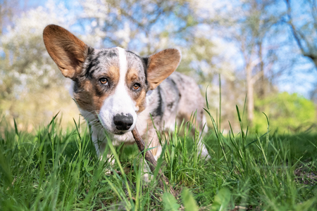 Pembroke welsh corgi cardigan dog in the park on a background of green trees on a sunny day nibbles a branch on a walk