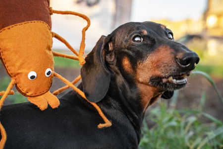 A large toy insect tick bites a dog dachshund for a walk. Joke. Tick on the dog concept