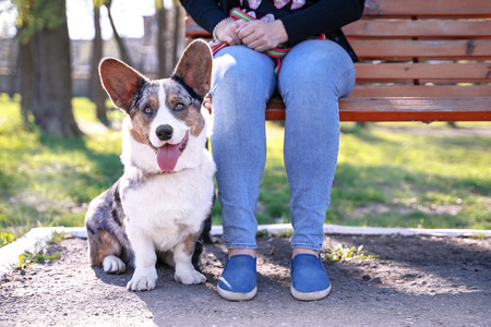 Cute dog Pembroke welsh corgi cardigan  sits next to the owner on the bench Фото со стока