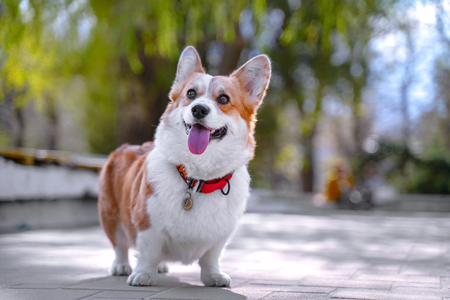 Happy and active purebred Welsh Corgi dog outdoors in the park on a sunny summer day. Фото со стока