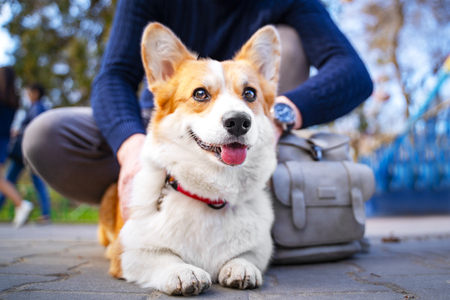 Cute Welsh Corgi dog walking in the city park with his owner