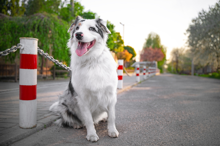 Happy purebred Australian Shepherd dog  sit smiling with the tongue, the road is not against the background of green trees and home