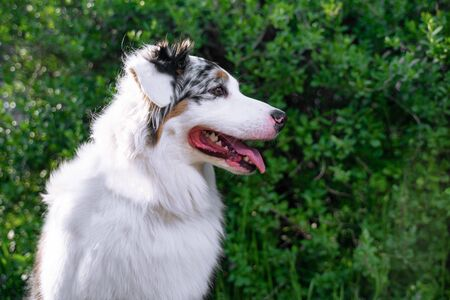 Happy purebred Australian Shepherd dog  sitting on the background of green trees in the park in spring