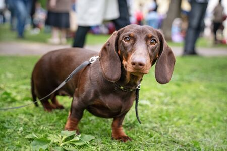 Portrait of a dachshund dog, dark red, with a collar, on a walk in the park, looking at the camera Фото со стока