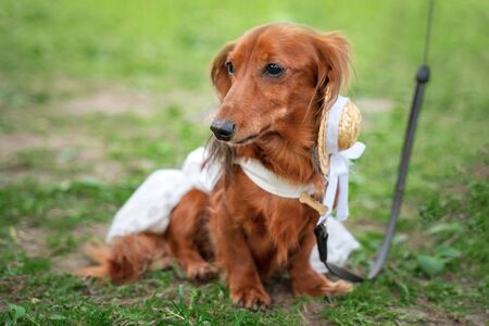 Portrait of a dachshund, red long-haired, in a suit at a parade of dachshunds Stock Photo