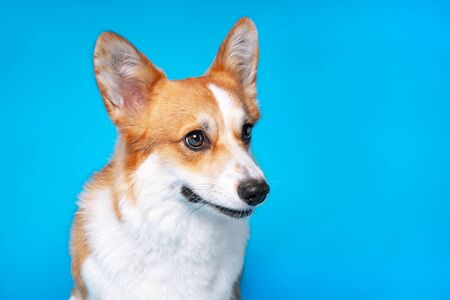 portrait of amazing healthy and happy smart pembroke welsh corgi in the photo studio on the blue background